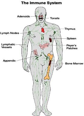 http://drdaveunleashed.files.wordpress.com/2010/10/immune-system.jpg